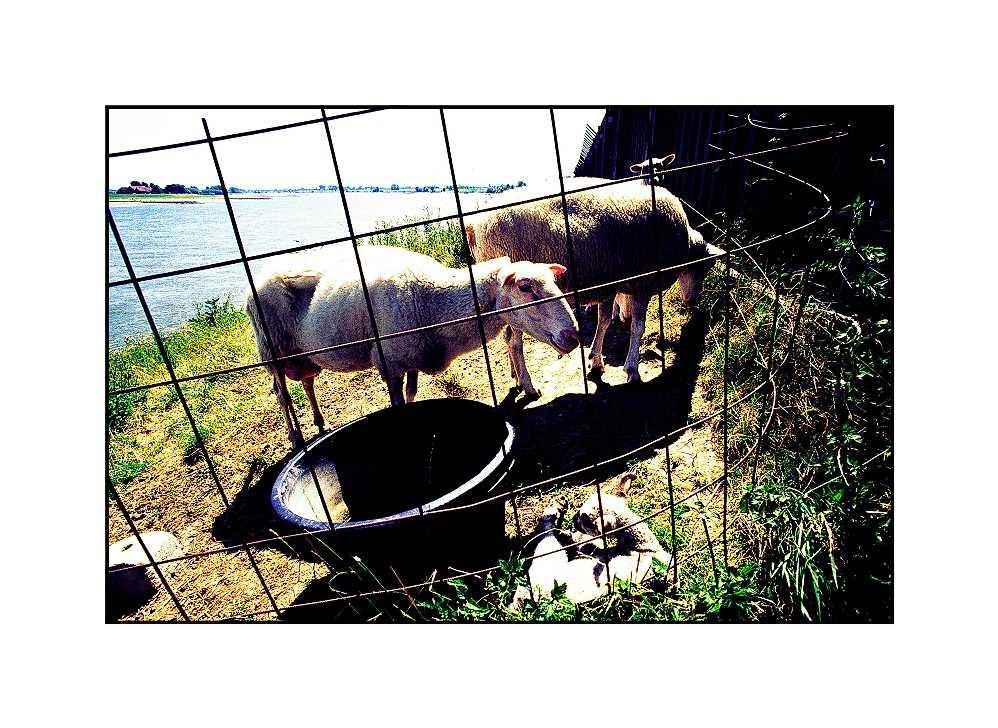 Schafe, Hönnepel