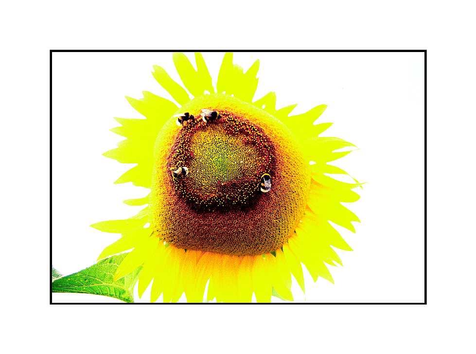 Sonnenblume, Grieth